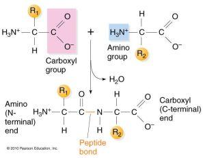 A Peptide bond!