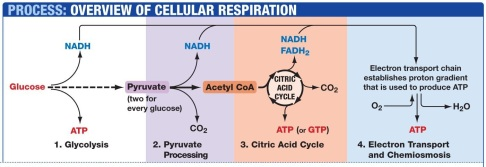 Cellular respiration process!