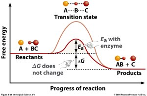 Basic Energy Profile Diagram illustrating the effects of enzyme activity