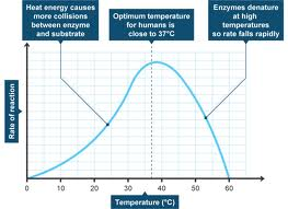 The effect of temperature on enzyme reaction