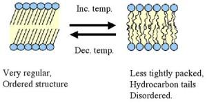 Fluidity of membrane