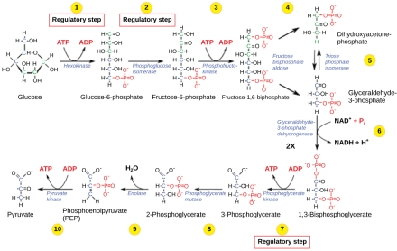 Steps in Glycolysis