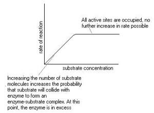 The effect of substrate concentration annotated graphically.