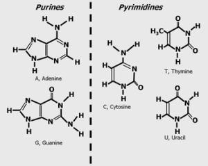 Purine and pyrimidines